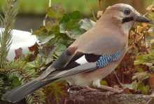 bilder heimische vögel